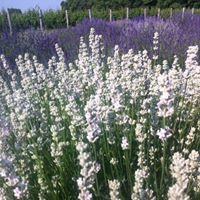 LavenderMelissa