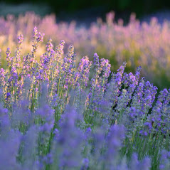 Lavender pastel colours