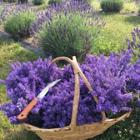 Fresh Lavender basket