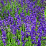 Colourful lavender plants