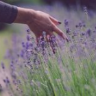 Gently sweep your hand through the lavender and release the aromas