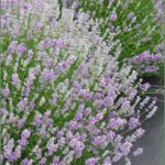 Pretty mounds of lavender