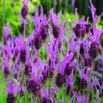 Stoechas Spanish Lavender