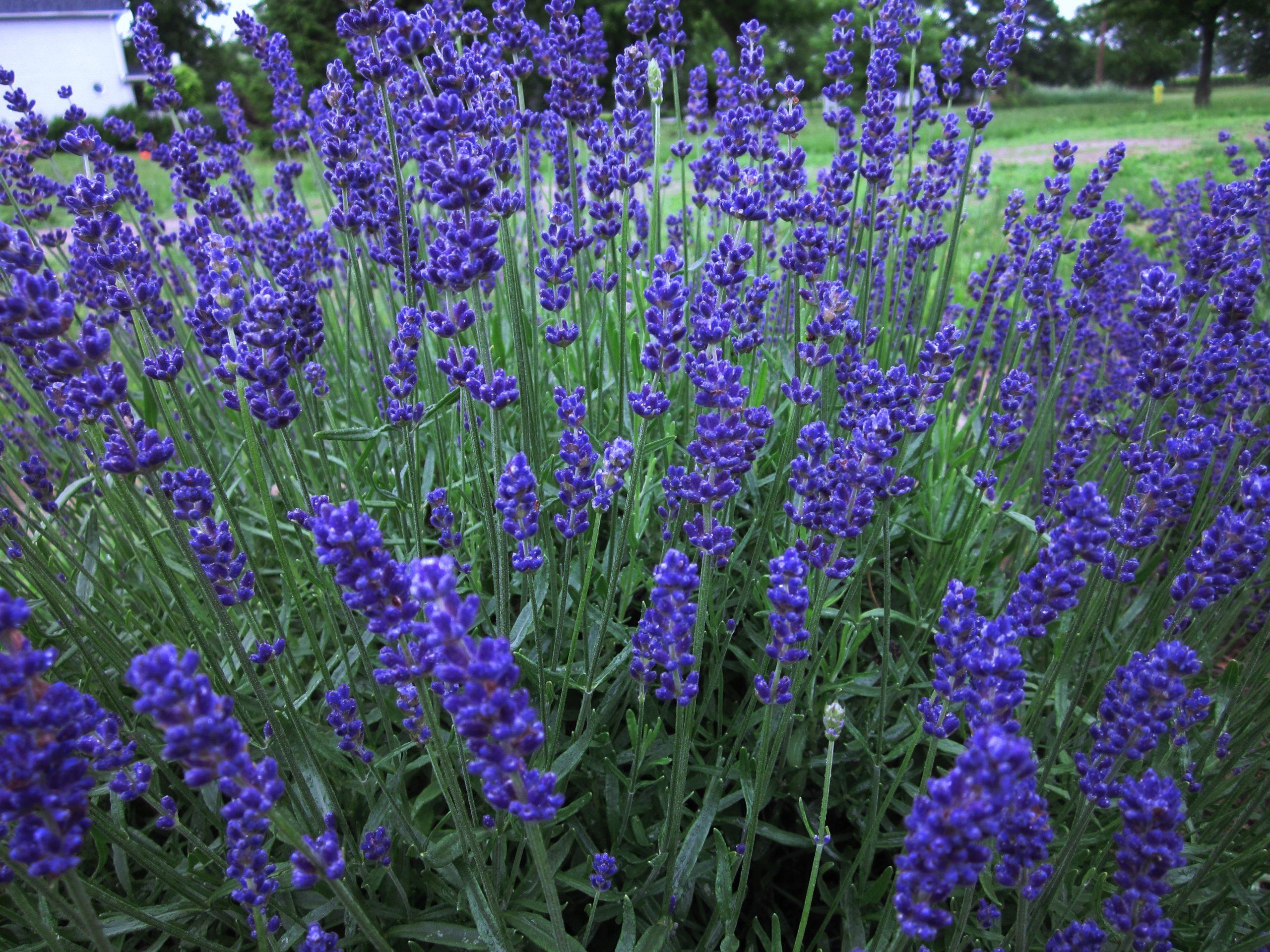 Purple elegance - Hidcote Lavender
