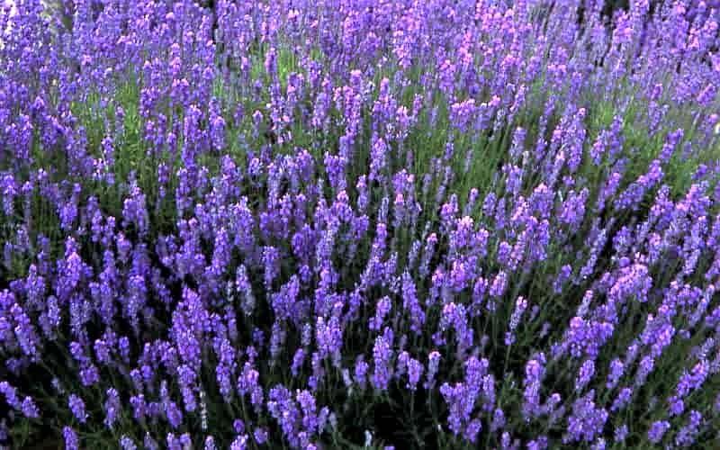 Lavandula Angustifolia - Folgate a bright lavender flower