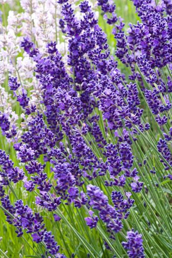 Long lasting blooms of Royal Velvet lavender