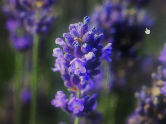 Lavandula angustifolia 'super blue' a pretty lavavender